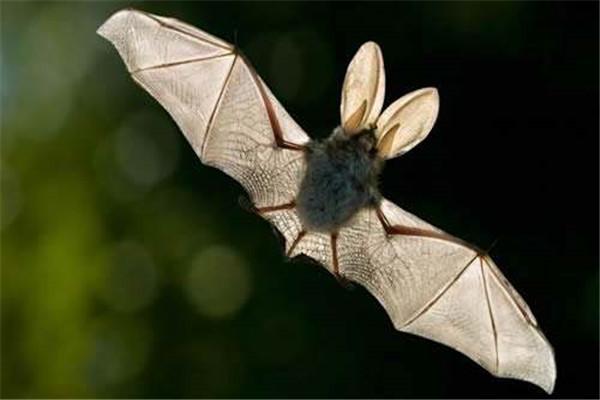 蝙蝠飞到家里是什么预兆,意味着家人健康