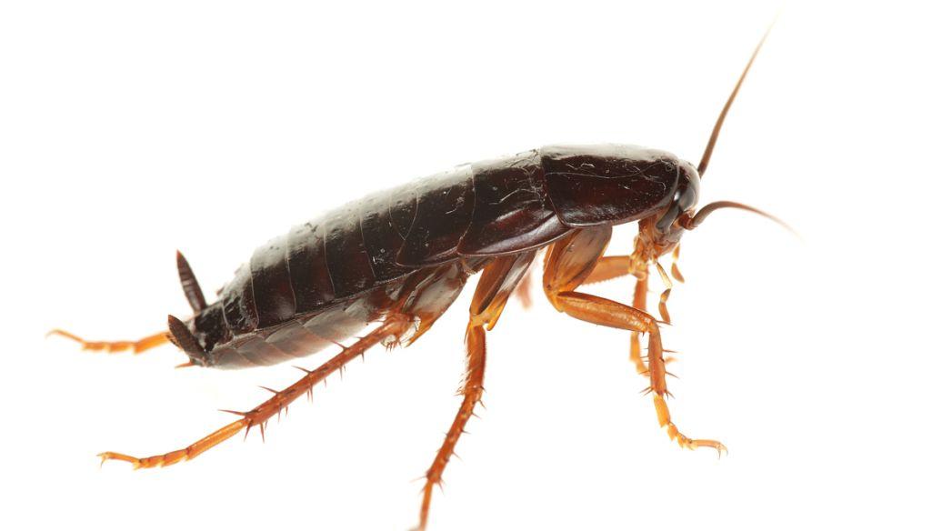 去除蟑螂的方法有哪些?蟑螂,这真的是打不死的小强